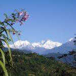 Stevia, Mt. Kanchenjunga West Sikkim