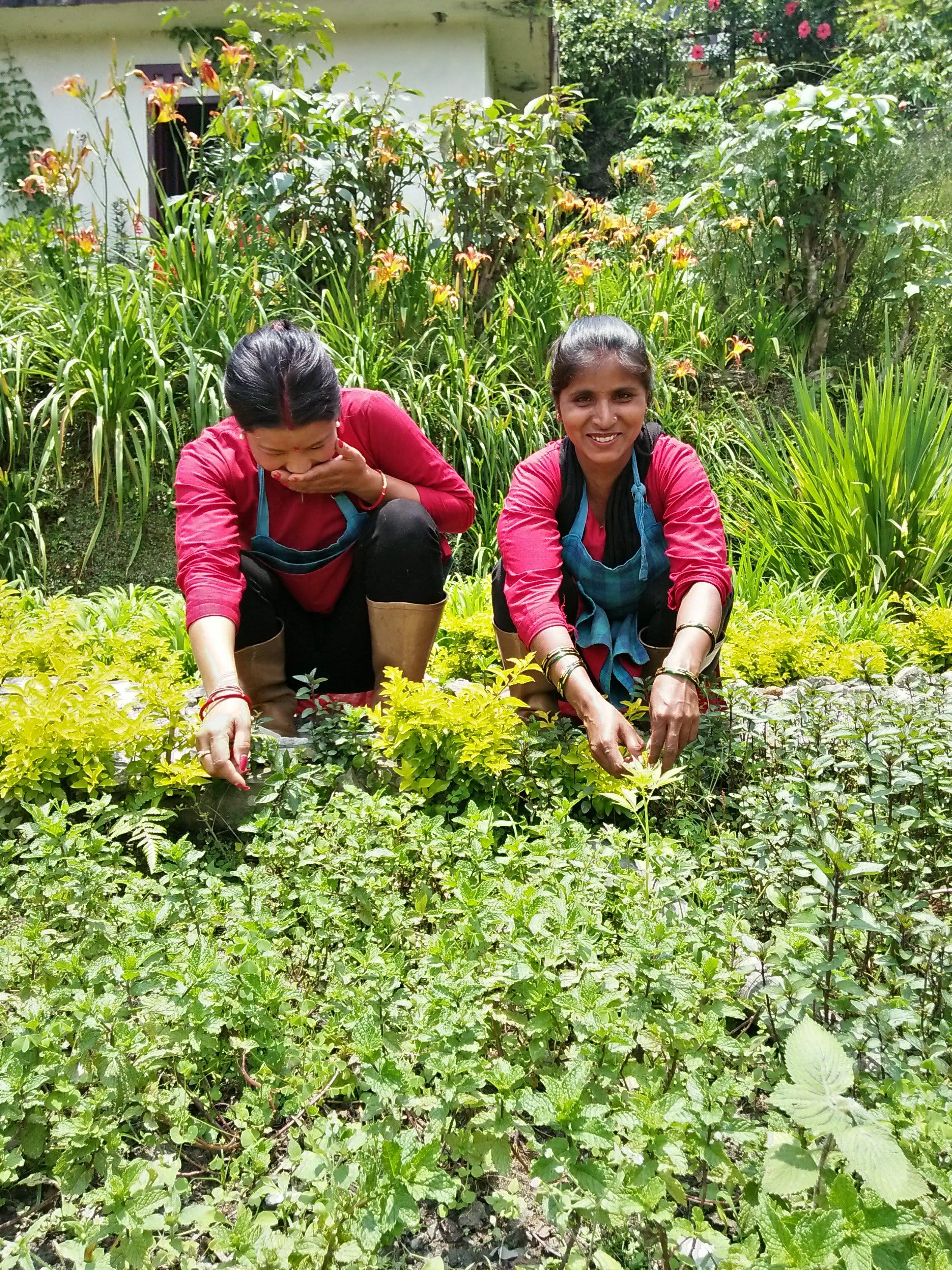 Fresh Herbal Tea, Mint Harvesting