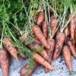 Permaculture, carrots