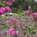 Catchfly Flower