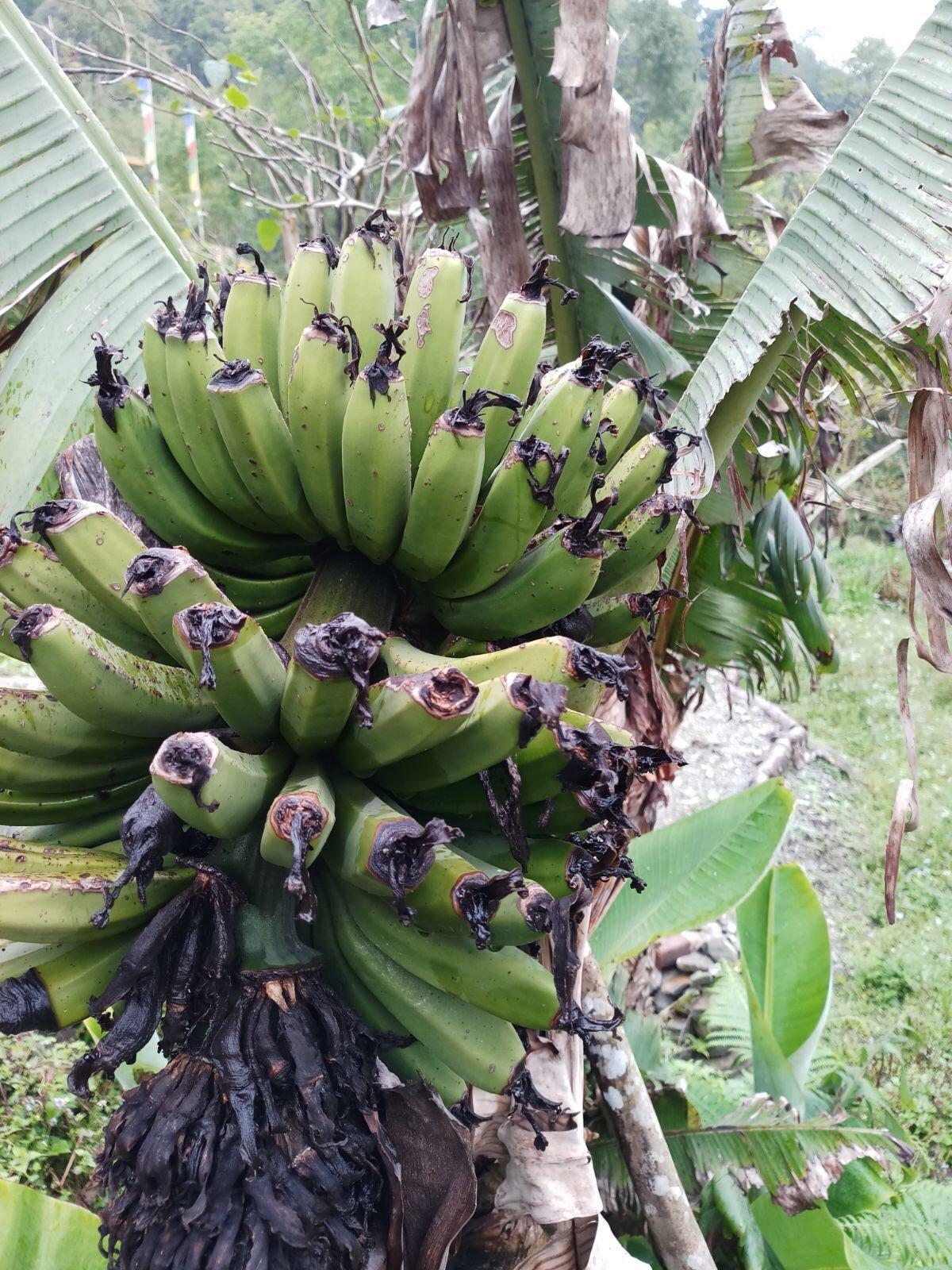 Banana, permaculture