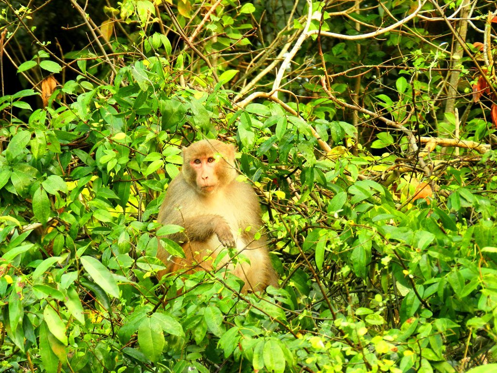 Rhesus monkey, world's largest mangrove forest